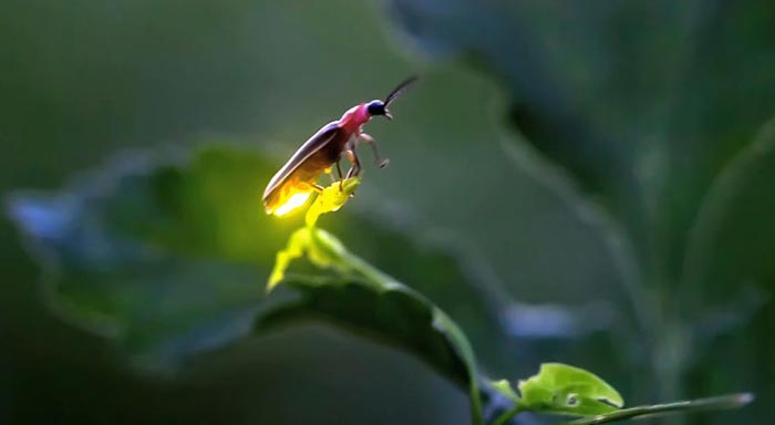 Study of fireflies boosts OLED efficiency by over 60 per cent ...