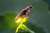 Study of fireflies boosts OLED efficiency by over 60 per cent